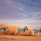 Zebras running across sand dune