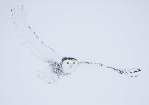 Snowy owl in winter