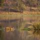 Bengal tiger in lake